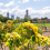 New Farm Park's heritage rose gardens have sprung to life earlier than usual